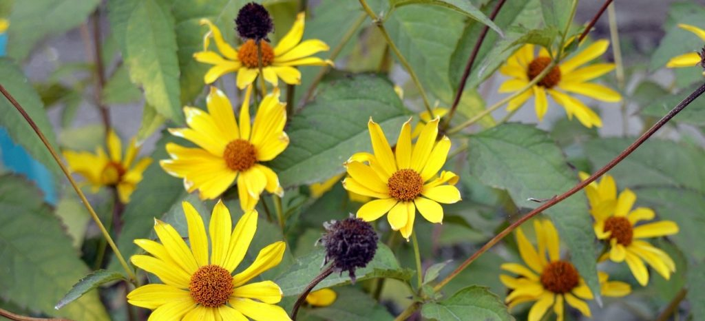 kwiaty topinamburu